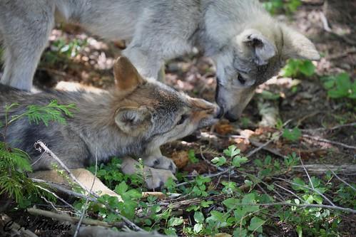 wolf idaho 433 by blackhawk32