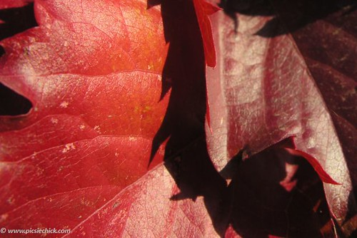 Macro photo of red maple leaves glowing rich in autumn sunlight, these weeks between filled with Gratitude and years of breathing each others lives.