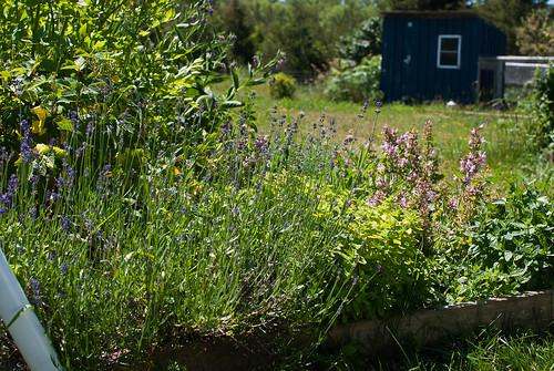 lavender - herb garden