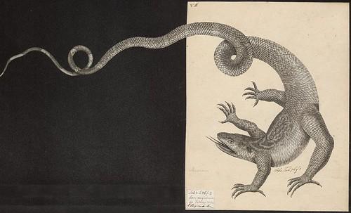Acanthodactylus boskianus Daud.