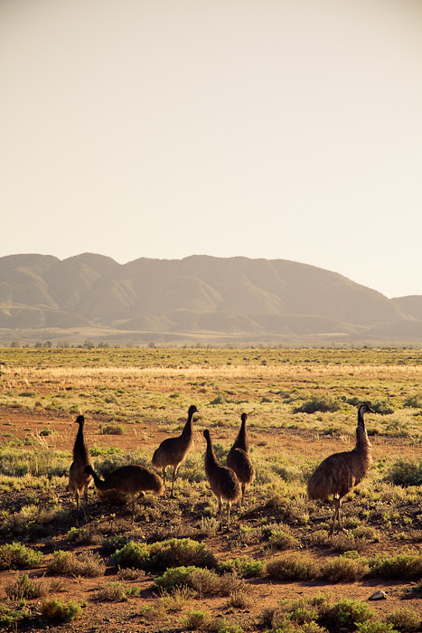 Emu mother and chicks
