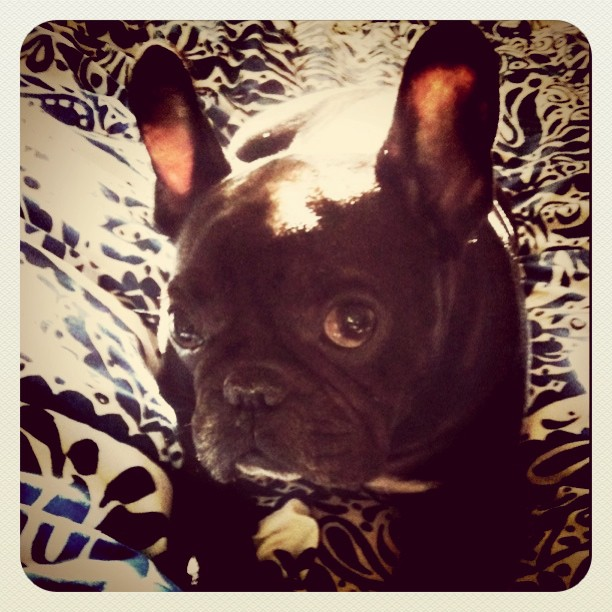 Sneaky sneaky on the bed #LeRoy #Frenchie #frenchbulldog