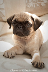 Angus (GrahamMcPherson) Tags: dog angus pug grahammcpherson