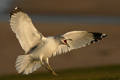 Ring-billed Gull (more below) (gcampbellphoto) Tags: canon flight northernireland bif portrush rarity ringbilledgull avianexcellence