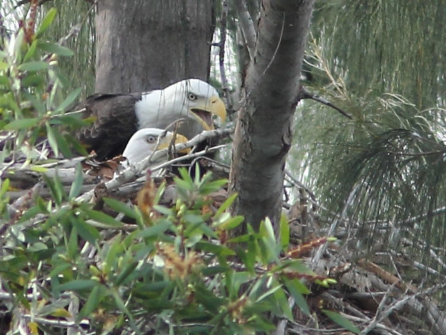 Two adult Bald Eagles at nest 2-20111005