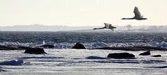 swans flight coastal (Timo Leppharju) Tags: winter water suomi finland swan helsinki talvi vesi ranta joutsen