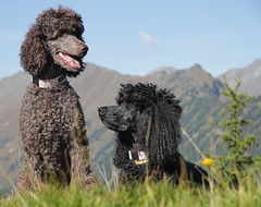 hiking time (darleen2902) Tags: black mountains hiking royal berge poodle wandern caniche misura darleen browen standarad