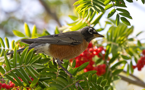 American Robin at mountain ash