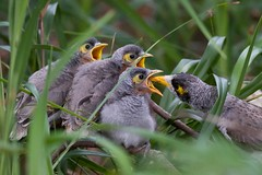Noisy Chicks (petefeats) Tags: nature birds feeding australia queensland bribieisland fledglings noisyminer passeriformes manorinamelanocephala meliphagidae feedingyoung buckleyshole