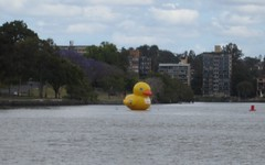 Giant duck, Brisbane river