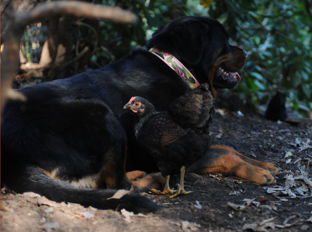 Betty Cakes, the Rottweiler and Mother Hen-4