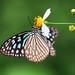 Butterfly by -xMen-