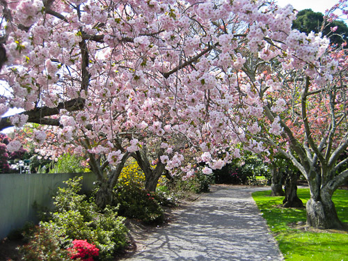 Sakura in New Zealand.