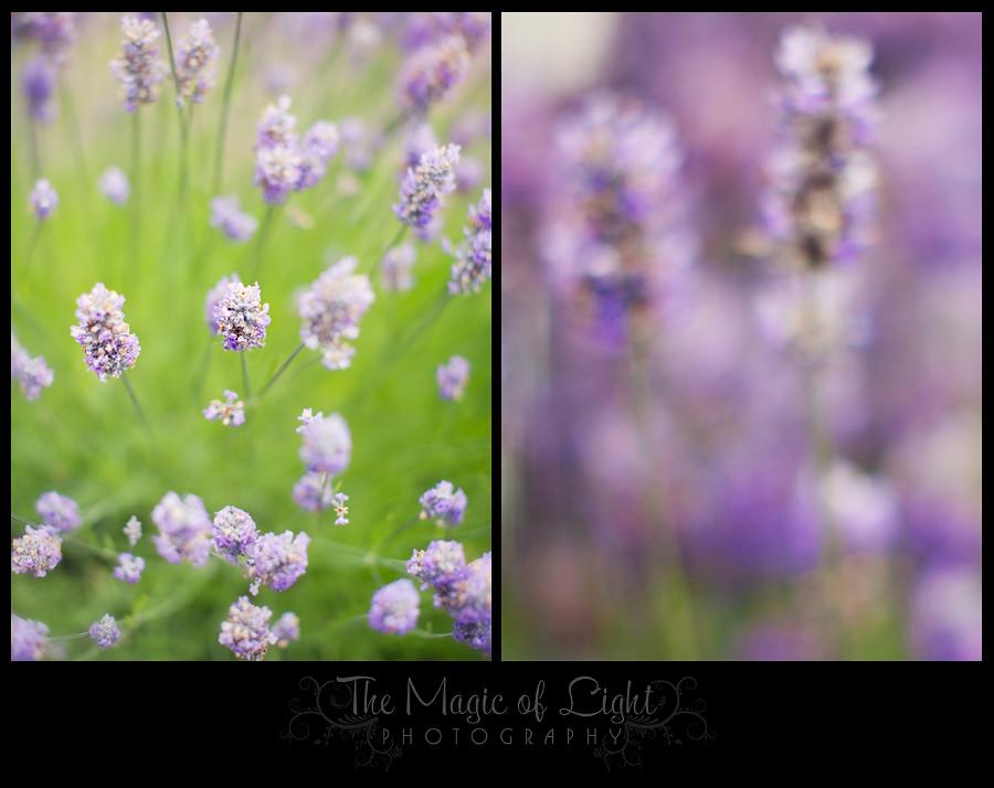 Lavender1Blog