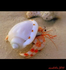 Kuredu crab (xicoleao) Tags: asia wildlife maldives kuredu maldivas vidaselvagem lhaviyaniatoll reflection5 frameit flickrstruereflection1 flickrstruereflection3 flickrstruereflection5 flickrstruereflection6 flickrstruereflection7 flickrstrue vpu2 vpu3 frameitlevel3 frameitlevel2 frameitlevel4