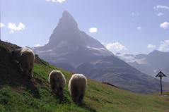 Zermatt (tttske_C) Tags: mountain switzerland sheep zermatt matterhorn