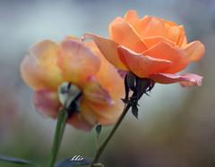 Orange roses (bbic) Tags: roses two orange petals nikon doi petale trandafiri portocaliu