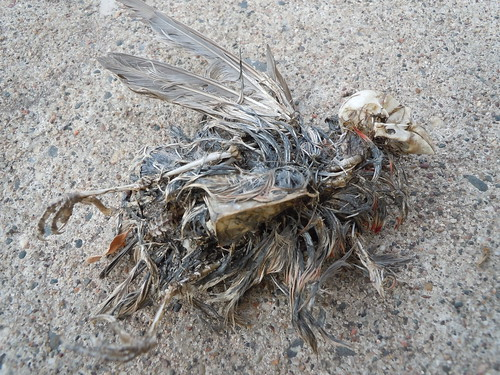 10-22-11 Decomposed Bird - Chaska, MN