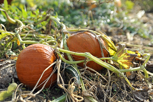 083 pumpkins