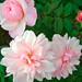 ピンク グルス アン アーヘン(Pink Gruss an Aachen)
