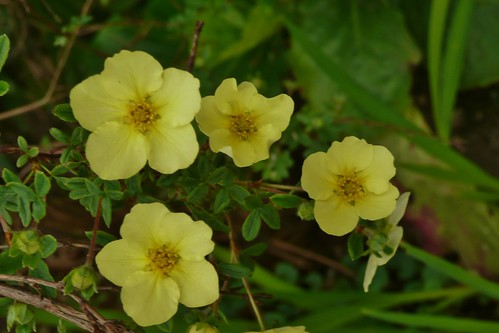 Potentilla by john47kent