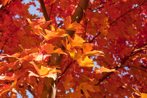 Red Maple III