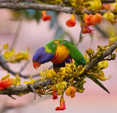 Xmas Decorations Go Up Early (petefeats) Tags: nature birds australia brisbane queensland rainbowlorikeet australianbirds trichoglossushaematodus psittacidae psittaciformes sherwoodarboretum blackbeantree
