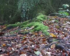 Falling leafs. (gos1959) Tags: game forest winner sweep fotocompetitionbronze gamewinnersweep pregamewinner biersted