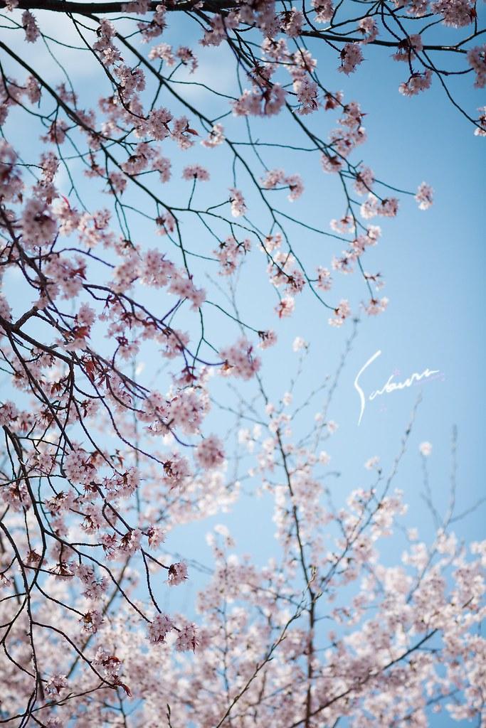 關西.櫻花季