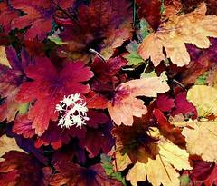 Purple Leaves (scilit) Tags: pink autumn red fall nature leaves forest purple tistheseason superhearts platinumheartaward