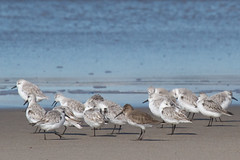 Dunlin with Sanderlings