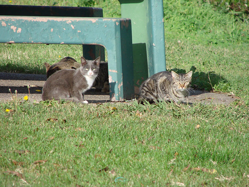 Feral cats in subsidized colony, Sacramento, CA
