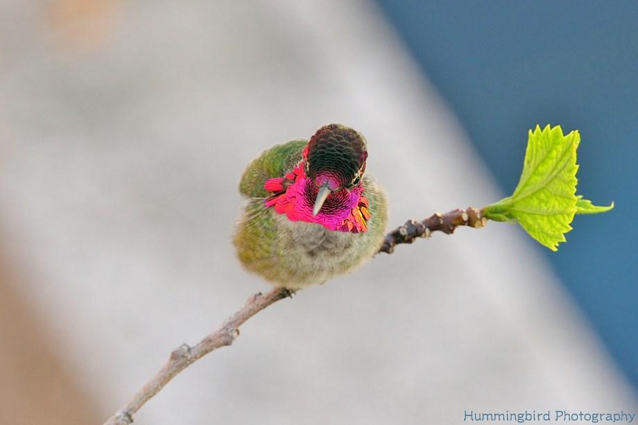 Anna's Hummingbird 110211