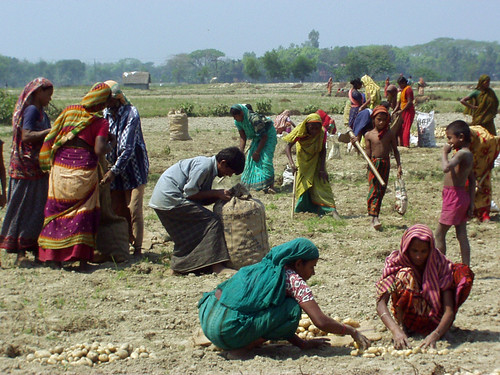 Women harvesting potatoes, Bangladesh. Photo by WorldFish, 2005