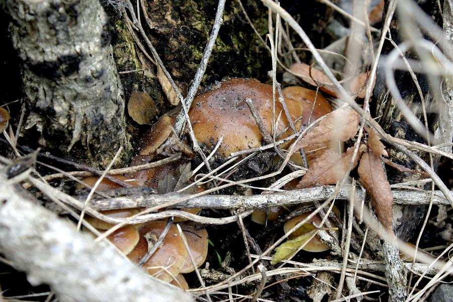 Mushrooms(2)