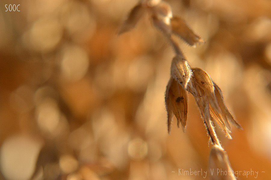 Macro-corn-stalk-SOOC