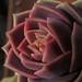 las rosas crasas