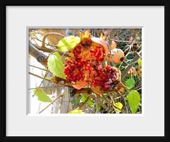 Pomegranates (Marlis1) Tags: trees fruit fdsflickrtoys catalunya granado grenadier punicagranatum granatäpfel pomegrantes cabaces marlis1 mangraner punisagarrondo