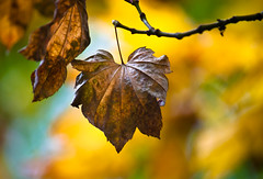 "1st Shot of the Day ""Leaf Hang on a Monday"" (Orbmiser) Tags: autumn fall leaves rain oregon leaf nikon d90 55200vr portlandrain"