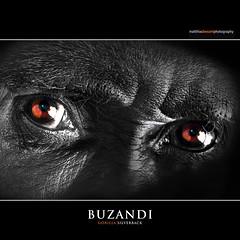 BUZANDI (Matthias Besant) Tags: closeup eyes gorilla augen blick silverback silberrücken erlebniszoohannover ringexcellence matthiasbesantphotography matthiasbesant