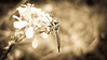 Tread Lightly (Kalyna Harasymiv) Tags: flowers blackandwhite bw macro nature spring twilight natural australia bugs canberra greyscale kalyna