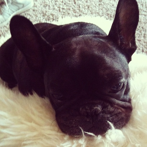 I'm so sick. This little is trying desperately to make me feel better. #leroy #frenchbulldog #frenchie