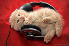 little cat enjoying music (vvvita_) Tags: music pet cats animal cat kitten little kitty headphones katze lover panoramafotogrfico mygearandme ringexcellence blinkagain bestofblinkwinners highqualityanimals
