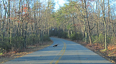 why did the turkey cross the road Photo