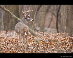 Was A 10 Point But Now A 9 Point (Hamilton Images) Tags: november ohio canon mammal deer toledo buck 500mm whitetaileddeer odocoileusvirginianus 2011 10point 14xteleconverter img9514 5dmarkii