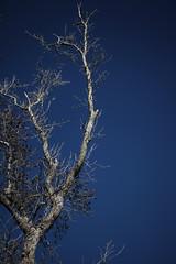 reaching (Sparrow's lens) Tags: blue sky tree fall nature sticks bluesky deepblue