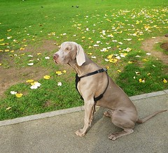 Meet Eros (helenoftheways) Tags: uk london dogs pigeons autumnleaves weimaraner pottersfields