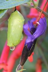 Among the Flowers (leisakay3) Tags: november flowers red green canon drops purple bokeh jade monarch salvia refraction chrysalis firecracker 2011