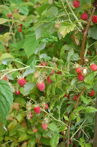 raspberries June 11 1