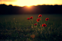 Just there for you (Marc Benslahdine) Tags: red flower macro green nature sunrise puppies bokeh coucherdesoleil lightroom coquelicots canonef100mmf28macrousm canoneos5dmarkii marcbenslahdine marcopixcom